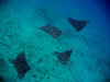 22 November 2009 - Eagle spotted rays off Fernando de Noronha, Brazil