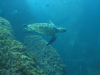 10 January 2010 - A graceful Hawksbill turtle in Ubatuba, Brazil