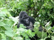 Read Photo of the Week: Gorillas in Our Midst, Bwindi Impenetrable Forest, Uganda
