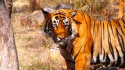 Read Can Tourism Help Save the Tiger?