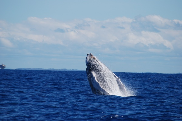 morrodesaopaulo whalebreach Can Ecotourism Help Save Endangered Species?