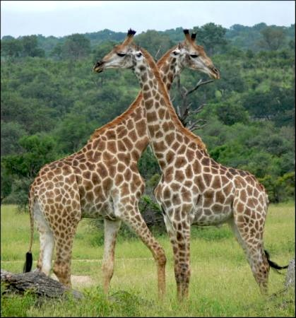 Giraffes are commonly sighted in Kruger National Park, also home to the Big 5, Little 5 and the Birding Big 6