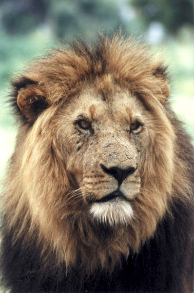 The lion is one of the Big Five found in Kruger National Park
