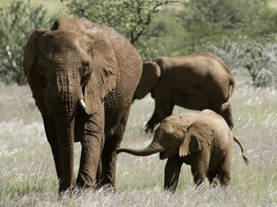 Travellers can see the desert-adapted elephants around the Huab River Valley near the Damaraland Camp of Etosha, Namibia