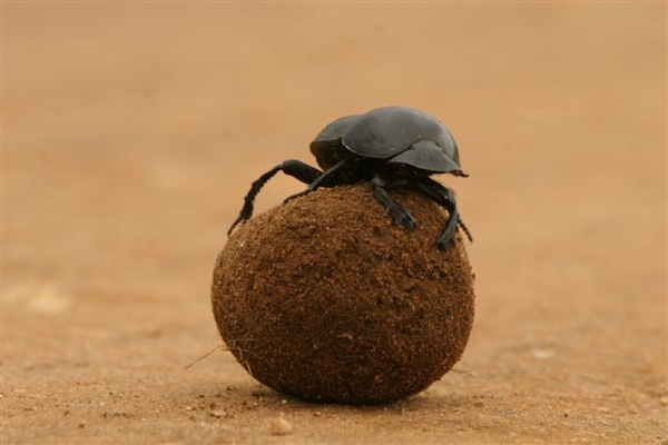 The flightless dung beetle is an endangered species, one of the largest populations of which is in the Eastern Cape of South Africa (photo courtesy of Riverbend Lodge)
