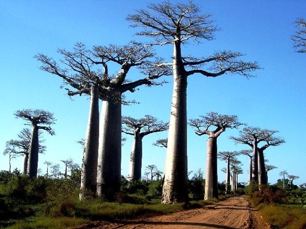 The Avenue of the Baobabs, or Alley of Baobabs, stretches between Morondava and Marofandilia Forest where Fanamby's Baobab in Love Camp is located. Baobabs can reach the ripe old age of 800 and grow to heights of 30 metres (98 feet).