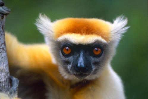 Conspicuous furry ears and a golden-orange crown distinguish the golden-crowned sifaka (Propithecus tattersallli) from other members of the sifaka family of lemurs. It is critically endangered and can only be found in northeast Madagascar.