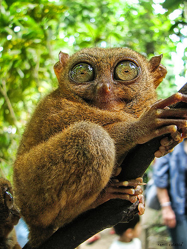 Tangkoko National Park in Sulawesi, Indonesia, is home to the rare tarsiers, the smallest primates in the world, known for their small bodies, long tails and bulbous eyes. As you can see, they have the largest eye-to-head ratio of all mammals!