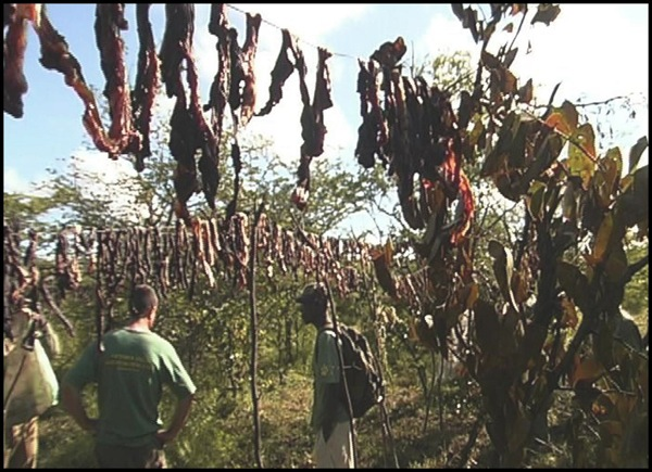 In the area around Victoria Falls, Zimbabwe, after butchering animals caught in their snares, poachers hang the meat up to dry for several days before taking it to the markets to be sold as bushmeat, a popular and relatively inexpensive delicacy