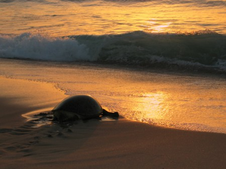 Oman is a haven for five species of rare turtle, four of which nest here