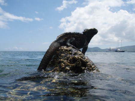 """Darwin described the marine iguanas of the Galapagos as  """"most disgusting, clumsy lizards."""" Photo courtesy of Galapagos Safari Camp"""
