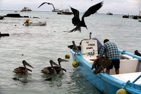 Local pelicans surround a fisherman in Puerto Ayora, in the Galapagos. Photo courtesy of Jorge Vinueza