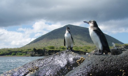 These penguins, resident on Bartolome, are the only penguins native to the northern hemisphere. Photo courtesy of Galapagos Safari Camp