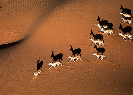 Springbok antelope in the Kalahari Desert of Namibia