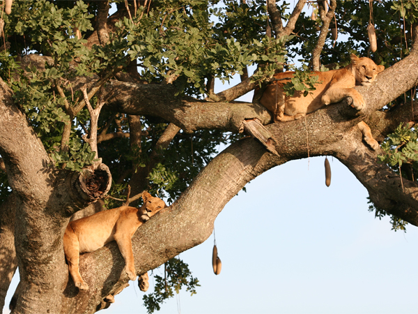 Photo of the Week (23 January 2011) - Sleepy Lions, Kampala and Entebbe, Uganda