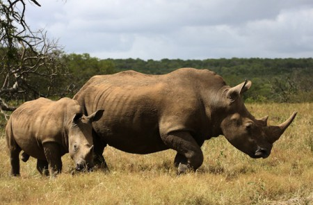 This mother and baby are southern white rhinos, which in the late 19th century, was considered extinct, are part of a very small population in the Umfolozi-Hluhluwe region in Kwazulu-Natal, South Africa.