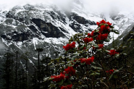 The mountain is visible from everywhere in Sikkim, but from Lachung the view is simply unmatched. The high altitudes also produce a lot of rhododendrons, the state flower of Sikkim, India