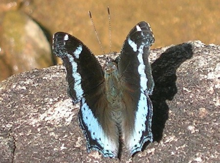 Blue admiral butterfly bhutan1 450x334 Brilliant Butterflies in the Kingdom of Bhutan