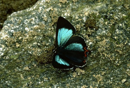 Green Sapphire butterfly bhutan 450x305 Brilliant Butterflies in the Kingdom of Bhutan