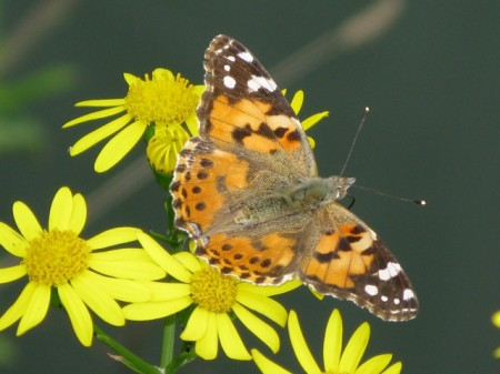 Painted Lady butterfly bhutan 450x337 Brilliant Butterflies in the Kingdom of Bhutan