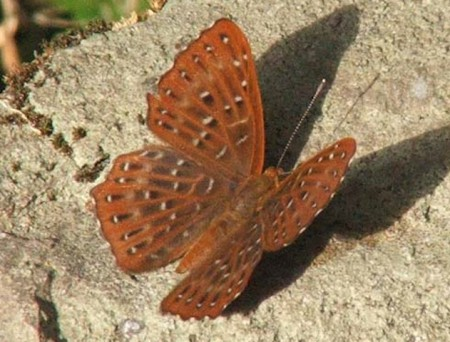 Punchinello_butterfly_bhutan