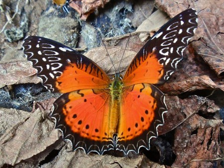 Red Lacewing butterfly bhutan1 450x337 Brilliant Butterflies in the Kingdom of Bhutan
