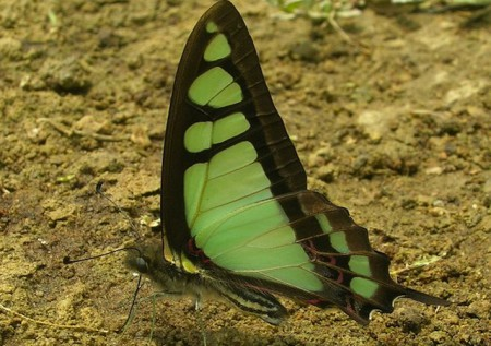 glassy bluebottle butterfly bhutan 450x317 Brilliant Butterflies in the Kingdom of Bhutan