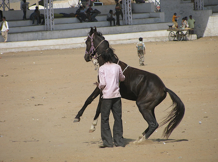 Dancing horse at the camel fair of Pushkar, India