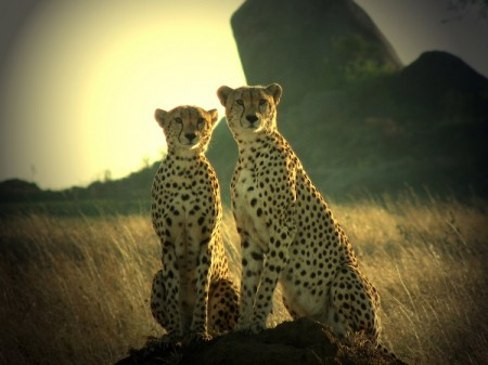 Photo of the Week (19 June 2011) - Cheetahs Posing, Dar Es Salaam, Tanzania