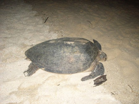Green turtle on the beach in Sandakan, Malaysia