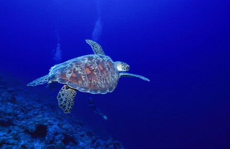Green turtle in the Seychelles
