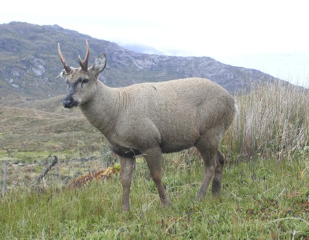 Huemul deer, Torres del Paine, Chile