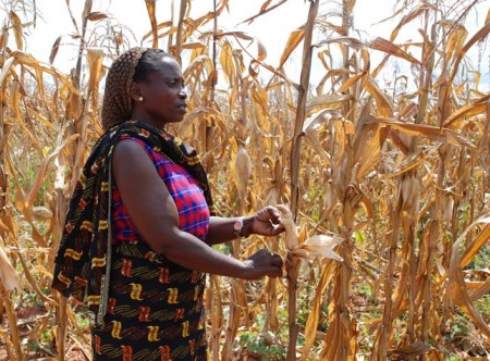 Tanzanian farmer with drought-affected maize