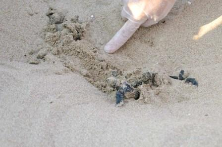 Sea turtle hatchlings in Zakynthos, Greece