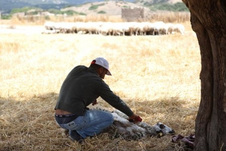 Agritourism North_Cyprus_Shearing_Sheep