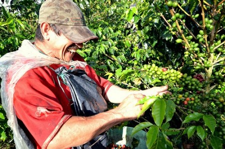 A local picking coffee in Quindio Colombia