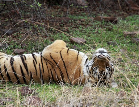 Fewer than 4,000 endangered wild tigers exist across Asia