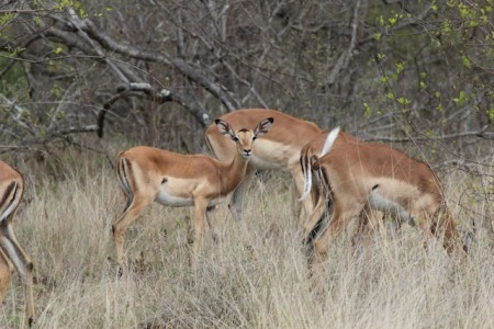 Plentiful and often overlooked, impalas are quite beautiful, especially the babies