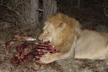 A lion crunches on the bones of an antelope in the Motswari Private Game Reserve in the Timbavati region of Kruger National Park, South Africa