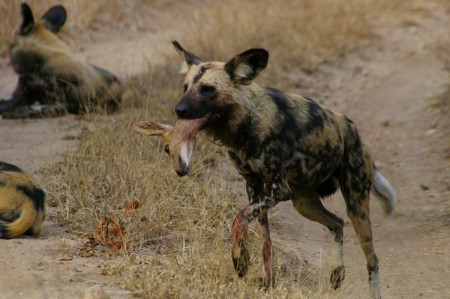 In the Lion Sands Private Game Reserve in the Sabi Sand region of Kruger National Park, South Africa, wild dogs feast on steenbok