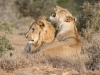 16 October 2011 - Young Lions in Addo National Park, South Africa