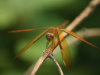 17 January 2010 - A dragonfly holding firm in Pokhara, Nepal