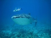 Read Whale Shark Encounters in the Maldives: Protecting a Gentle Giant