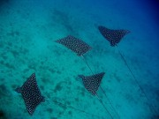 Read Photo of the Week: Eagle Spotted Rays off Fernando de Noronha, Brazil