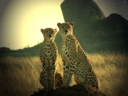 Read Photo of the Week: Cheetahs Posing, Dar Es Salaam, Tanzania