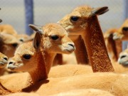 Read Photo of the Week: Vicuñas, Colca Canyon, Peru