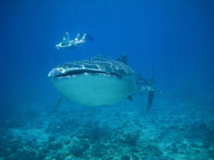 A classic and gentle snorkeller-whale shark encounter