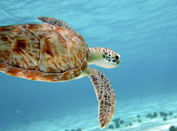 Sea turtles are just one of the many underwater creatures awaiting eager divers