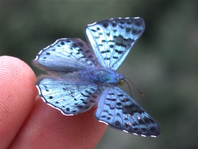 A butterfly typical of the nature around Pirenópolis, Brazil