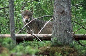 The grey wolf can now live protected from hunters in Estonia's Soomaa National Park (photo by Jarek Joepara)